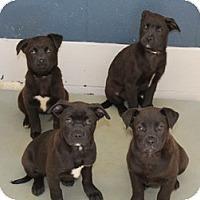 Adopt A Pet :: Chocolate Lab Mix Pups - Marlton, NJ