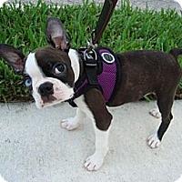 Adopt A Pet :: Piper - Fort Lauderdale, FL