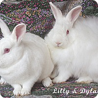 Angora, Satin Mix for adoption in Santa Barbara, California - Dylan