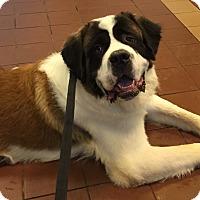 Adopt A Pet :: Bernie - Nanuet, NY