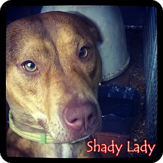 Pit Bull Terrier Mix Dog for adoption in Pineville, Louisiana - Shady Lady