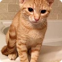Adopt A Pet :: Cayenne - Merrifield, VA