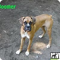 Adopt A Pet :: Boomer - Woodinville, WA