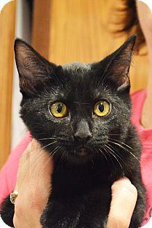Domestic Shorthair Kitten for adoption in Lincoln, Nebraska - Poppy