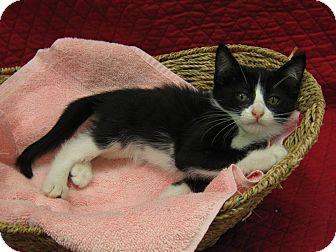 Domestic Shorthair Kitten for adoption in Redwood Falls, Minnesota - Princess