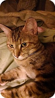 American Shorthair Cat for adoption in Rougemont, North Carolina - Abby