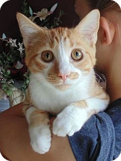 Domestic Shorthair Kitten for adoption in Knoxville, Tennessee - Tiny Tim
