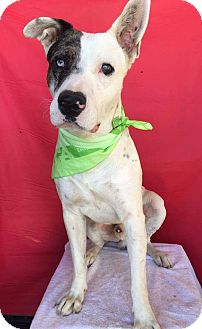 Great Dane Mix Dog for adoption in pasadena, California - PETER