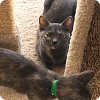 Domestic Shorthair Kitten for adoption in Westminster, California - Kendal