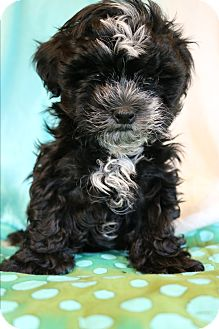 Shih Tzu/Poodle (Miniature) Mix Puppy for adoption in Staunton, Virginia - Boo