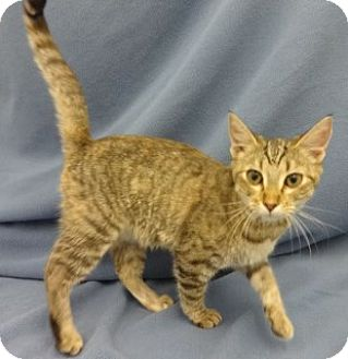 Domestic Shorthair Kitten for adoption in Olive Branch, Mississippi - Rachel