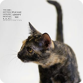 Calico Cat for adoption in Houston, Texas - CAMEO