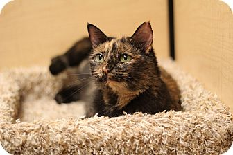 Domestic Shorthair Cat for adoption in Richmond, Virginia - Mabel