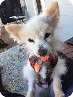 Pomeranian Mix Dog for adoption in Homewood, Alabama - Tom the Pom