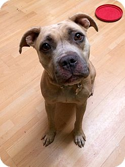 American Staffordshire Terrier Mix Dog for adoption in Manchester, Connecticut - Covie in CT