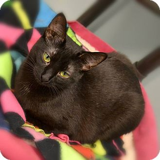 Domestic Shorthair Cat for adoption in Byron Center, Michigan - Diamond