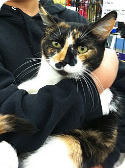 Calico Cat for adoption in Riverhead, New York - Patches