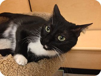 Domestic Shorthair Cat for adoption in Foothill Ranch, California - Francis