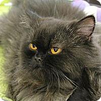 Adopt A Pet :: Bacall - Beverly Hills, CA