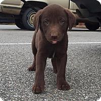 Adopt A Pet :: Betsy (Patriotic Pup) - Cumming, GA