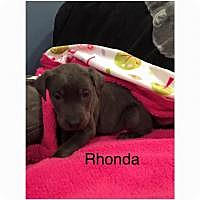 Adopt A Pet :: Rhonda - Marlton, NJ