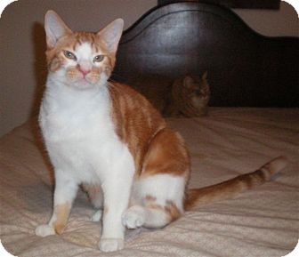 Domestic Shorthair Cat for adoption in Poplarville,, Mississippi - Taffy