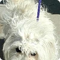 Adopt A Pet :: Vinny-ADOPTION PENDING - Boulder, CO