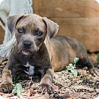 Adopt A Pet :: Marcia $250 - Seneca, SC