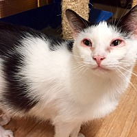 Domestic Shorthair Cat for adoption in Wilmington, Delaware - Sorento