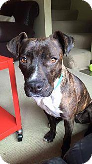 Pit Bull Terrier Mix Dog for adoption in Seattle, Washington - Lyra