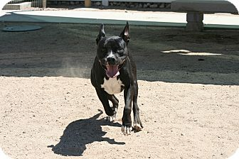 Pit Bull Terrier Mix Dog for adoption in Yucca Valley, California - Smokey Joe Lonesome