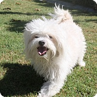 Adopt A Pet :: Benny - Henderson, NV