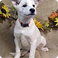 Adopt A Pet :: AIMEE - Westminster, CO