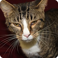 Adopt A Pet :: CAROL - Danville, IL