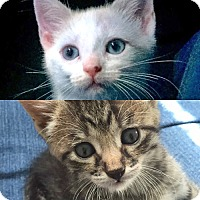 Adopt A Pet :: Coco and Moon, Foster Sisters Full of LOVE - Brooklyn, NY