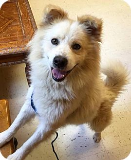 American Eskimo Dog Dog for adoption in Lindsey, Ohio - Colton of Indianapolis Indiana