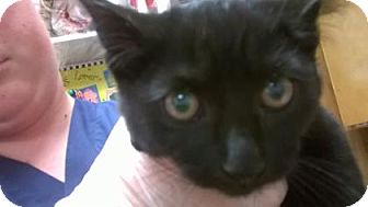 Domestic Shorthair Kitten for adoption in The Dalles, Oregon - Spook