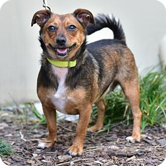 Dachshund/Chihuahua Mix Dog for adoption in Marina Del Ray, California - SCARLET