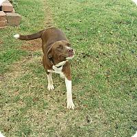 Adopt A Pet :: Josie - guthrie, OK