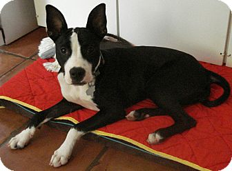 Boston Terrier/Terrier (Unknown Type, Medium) Mix Puppy for adoption in Raleigh, Texas - A - SOPHIE