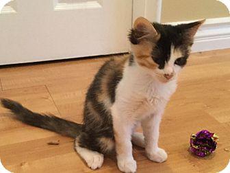 Turkish Angora Kitten for adoption in Cerritos, California - Jill