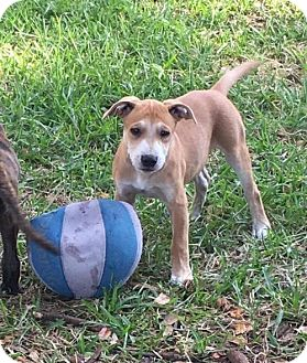Black Mouth Cur Mix Puppy for adoption in Lithia, Florida - Mia pup Buster -16 in Brandon Flp