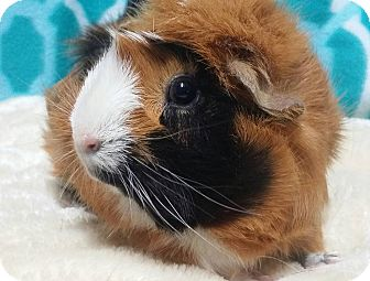 Guinea Pig for adoption in South Bend, Indiana - Roxie