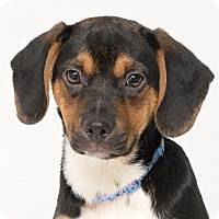 Adopt A Pet :: Packer - Westfield, NY