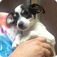 Adopt A Pet :: Jiminy Cricket - Las Vegas, NV