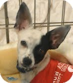 Chihuahua Mix Puppy for adoption in Phoenix, Arizona - Turbo
