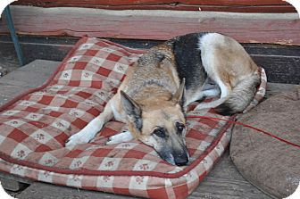 German Shepherd Dog Dog for adoption in Hamilton, Montana - Ellie