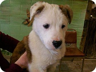 St. Bernard Mix Puppy for adoption in Sudbury, Massachusetts - BENNIE