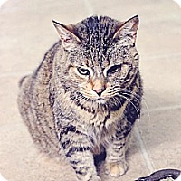 Domestic Shorthair Cat for adoption in Markham, Ontario - Pepper