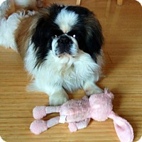 Adopt A Pet :: Coltrane - Chantilly, VA